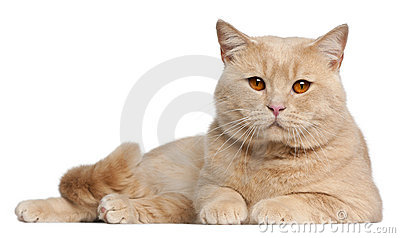 British Shorthair cats, 1 year old, lying