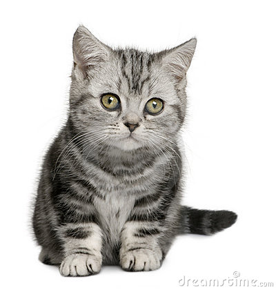 British Shorthair kitten (10 months old)