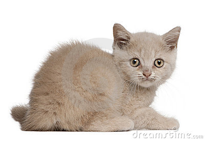 British Shorthair Kitten, 10 weeks old, sitting