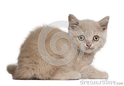 British Shorthair Kitten, 10 weeks old, sitting