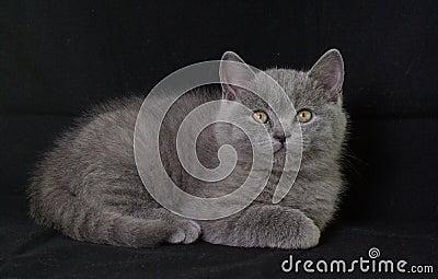 British Shorthair.Kitten.