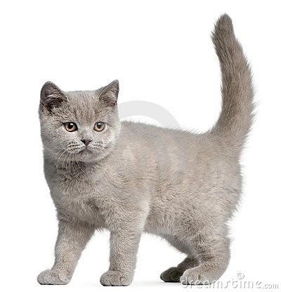 British Shorthair kitten, 3 months old