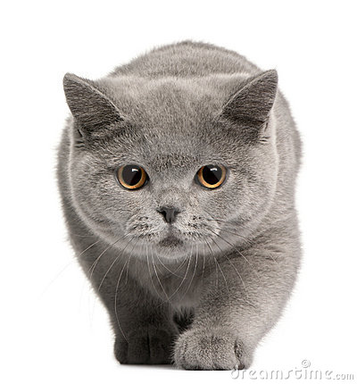 British Shorthair kitten, 4 months old