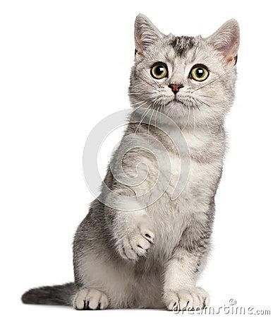 British Shorthair kitten, 4 months old, sitting