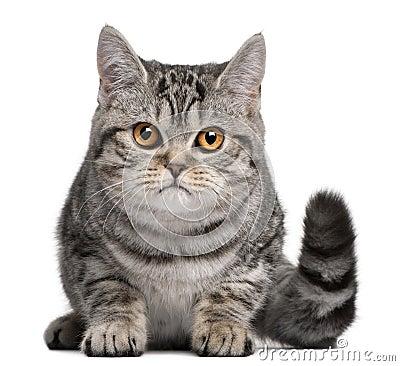 British Shorthair kitten, 5 months old