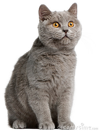 British Shorthair kitten, 5 months old