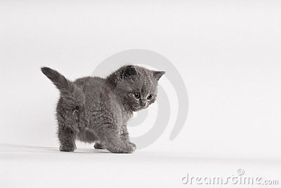 British shorthair kitten, 6 weeks