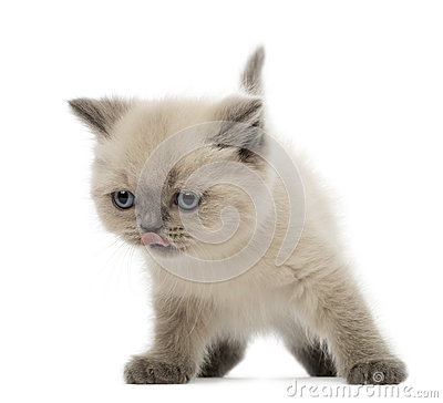 British Shorthair Kitten licking its nose