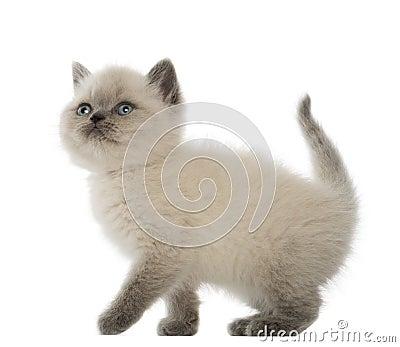 British Shorthair Kitten looking up