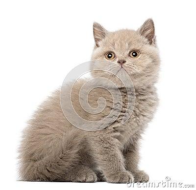 British Shorthair Kitten sitting, 9 weeks old