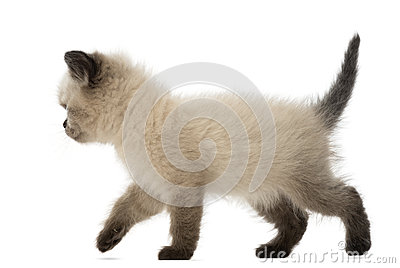 British Shorthair Kitten walking, 5 weeks old