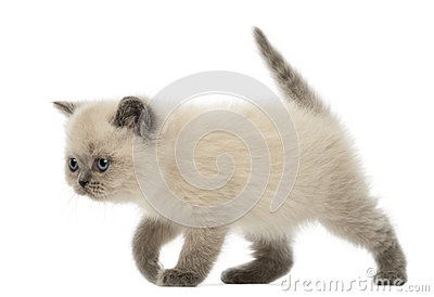 British Shorthair Kitten walking, 9 weeks old