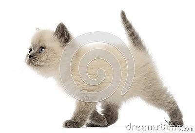 British Shorthair Kitten walking, 9 weeks old