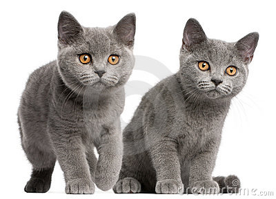 British Shorthair kittens, 3 months old