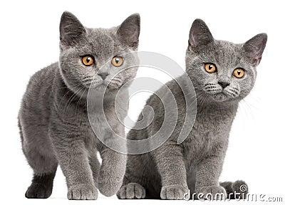 British Shorthair kittens, 3 months old