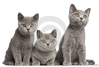 British Shorthair kittens, 3 months old, sitting