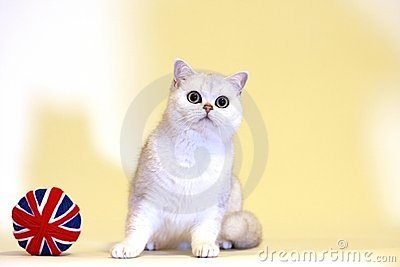 British Shorthair silver shaded cat