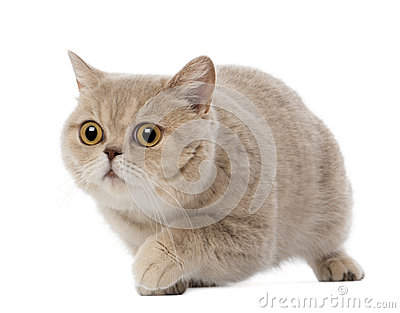 British Shorthair walking, 3 years old