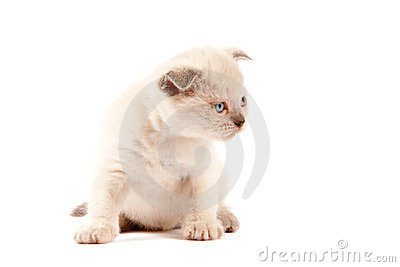 British shothair kitten