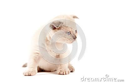 British shothair kitten
