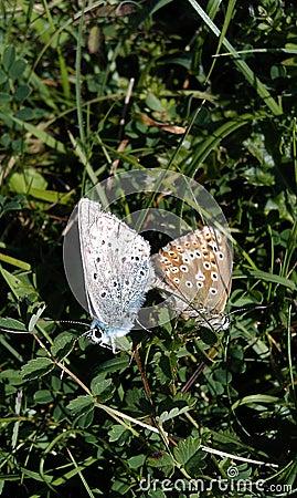 British wild butterflies