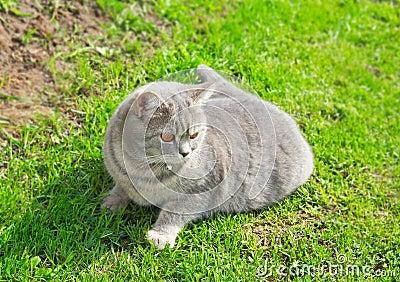 The Briton tender grey cat