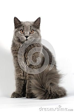 Britse kat