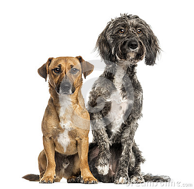 Brittany Briard crossbreed dog and jack russel sitting together
