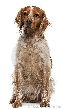 Brittany dog, 3 years old, sitting