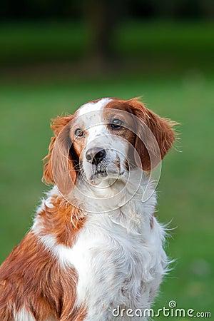 Brittany Spaniel dog