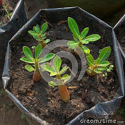 Börjande växt