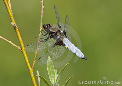 Broad-bodied Chaser Dragonfly