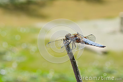 Broad-bodied Chaser dragonfly is ready for fly