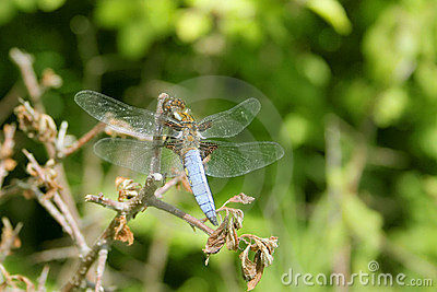 Broad-bodied Chaser, Libellula depressa