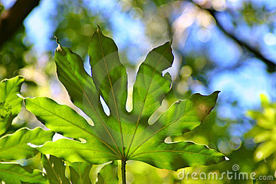 Broad Green Leaf