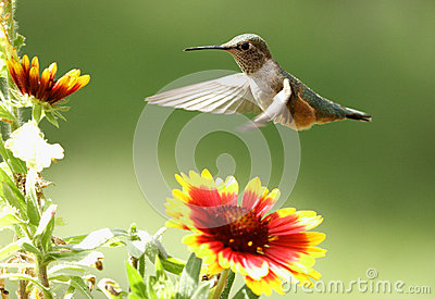 Broad-tailed hummingbird female (Selasphorus platycercus)