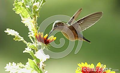 Broad-tailed hummingbird female (Selasphorus platycercus)