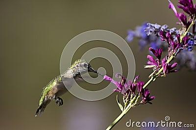 Broad-tailed Hummingbird, Selasphorus platycercus