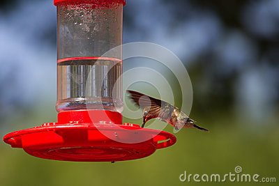Broad-tailed Hummingbird, Selasphorus Platycercus Royalty Free Stock Photos - Image: 25177288