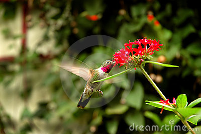 Broad-tailed hummingbird  (Selasphorus platycercus
