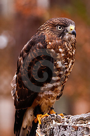 Broad-winged Hawk on Stump
