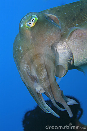 Free Broadclub Cuttlefish Royalty Free Stock Image - 23884476