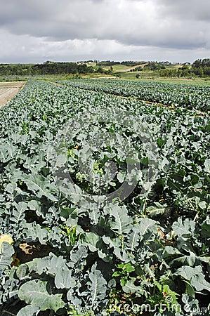 Free Broccoli Field Stock Photo - 5476530