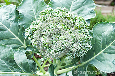 Broccoli growing on the vegetable bed