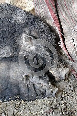 Broiler pigs