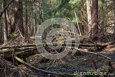 Broken pine tree trunk lying