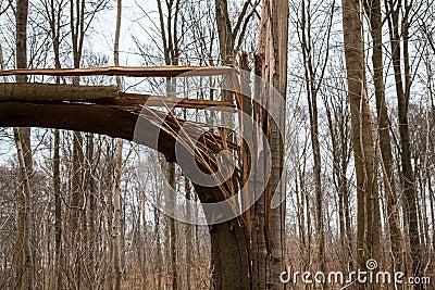 Broken Tree after Storm Hurricane or Lightning