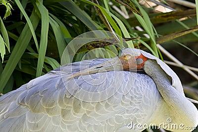 Brolga (Australian crane)