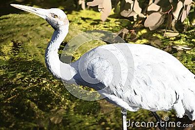 Brolga bird, Australia