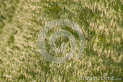 Brome grass background